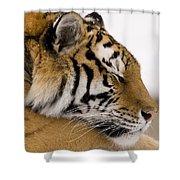 Tiger Sleeping Shower Curtain