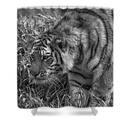 Tiger Stalking In Black And White Shower Curtain