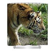 Tiger Stalking Shower Curtain