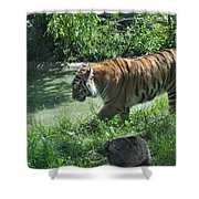 Tiger Stroll Shower Curtain