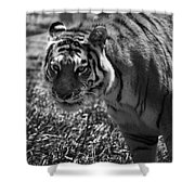 Tiger With A Cold Stare Shower Curtain