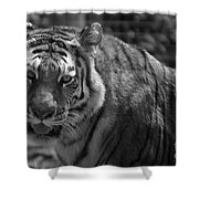Tiger With A Fixed Stare Shower Curtain