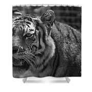 Tiger With A Hard Stare Shower Curtain