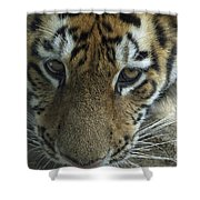 Tiger You Looking At Me Shower Curtain
