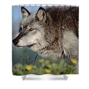 Timber Wolf Adult Portrait North America Shower Curtain