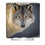 Timber Wolf Christmas Card French 21 Shower Curtain