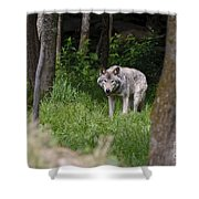 Timber Wolf In Forest Shower Curtain