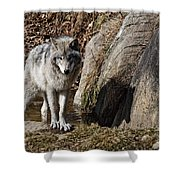 Timber Wolf In Pond Shower Curtain