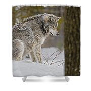 Timber Wolf In Snow Shower Curtain