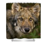 Timber Wolf In Denali Shower Curtain