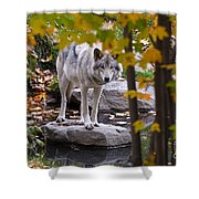 Timber Wolf On Rock Shower Curtain