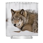 Timber Wolf Pictures 1028 Shower Curtain