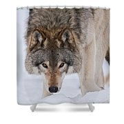 Timber Wolf Pictures 1042 Shower Curtain