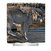 Timber Wolf Pictures 1101 Shower Curtain