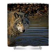 Timber Wolf Pictures 1103 Shower Curtain