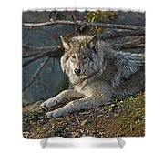 Timber Wolf Pictures 1148 Shower Curtain