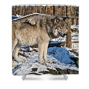 Timber Wolf Pictures 1175 Shower Curtain