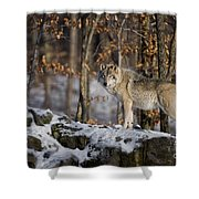 Timber Wolf Pictures 1206 Shower Curtain