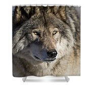 Timber Wolf Pictures 1218 Shower Curtain