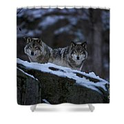 Timber Wolf Pictures 1233 Shower Curtain