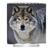 Timber Wolf Pictures 1271 Shower Curtain