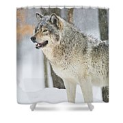 Timber Wolf Pictures 1302 Shower Curtain