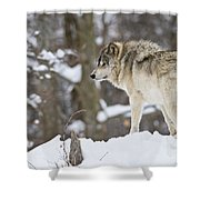 Timber Wolf Pictures 1306 Shower Curtain