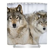 Timber Wolf Pictures 1312 Shower Curtain