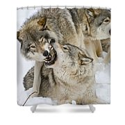 Timber Wolf Pictures 1314 Shower Curtain
