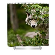Timber Wolf Pictures 1328 Shower Curtain