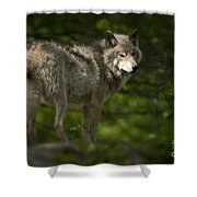 Timber Wolf Pictures 1336 Shower Curtain