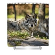 Timber Wolf Pictures 1363 Shower Curtain