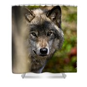 Timber Wolf Pictures 1365 Shower Curtain
