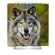 Timber Wolf Pictures 1388 Shower Curtain