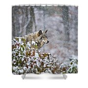Timber Wolf Pictures 1395 Shower Curtain