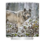 Timber Wolf Pictures 1397 Shower Curtain