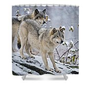Timber Wolf Pictures 1417 Shower Curtain
