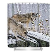 Timber Wolf Pictures 1420 Shower Curtain