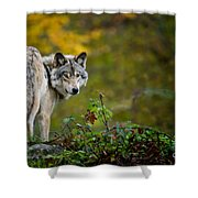 Timber Wolf Pictures 1627 Shower Curtain