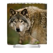 Timber Wolf Pictures 1629 Shower Curtain