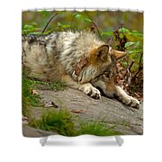 Timber Wolf Pictures 1646 Shower Curtain