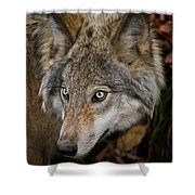 Timber Wolf Pictures 1660 Shower Curtain