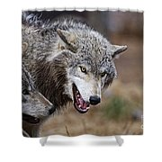 Timber Wolf Pictures 173 Shower Curtain
