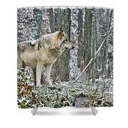Timber Wolf Pictures 185 Shower Curtain