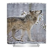 Timber Wolf Pictures 188 Shower Curtain