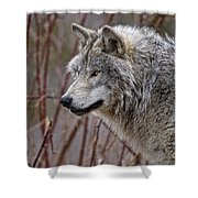 Timber Wolf Pictures 197 Shower Curtain