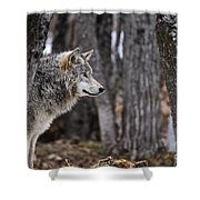 Timber Wolf Pictures 203 Shower Curtain