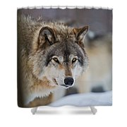 Timber Wolf Pictures 259 Shower Curtain
