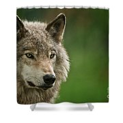 Timber Wolf Pictures 261 Shower Curtain