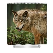 Timber Wolf Pictures 262 Shower Curtain
